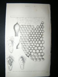 Jardine C1875 Antique Print. Structure of different classes of Bee Cells